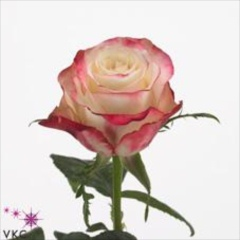 Advance Sweetness Roses - Wholesale Flowers