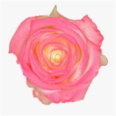 Avalanche Marshmallow Pink Rose