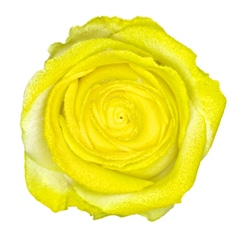 Avalanche Marshmallow Yellow Rose