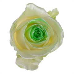 Avalanche Satin Look Green Rose