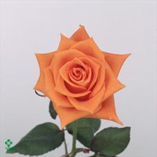 Flintstone Rose