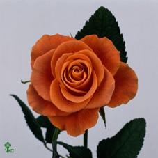 indian femma rose