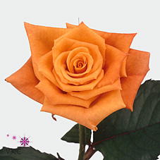 orange unique rose