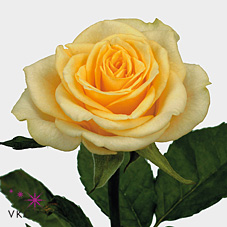 Prophyta Cream Rose