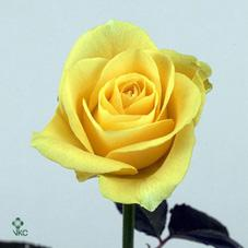 golden eye rose