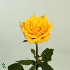 golden times rose