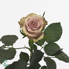 hypnose rose