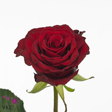 red love rose
