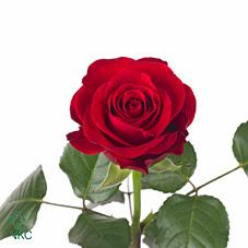 red ribbon rose