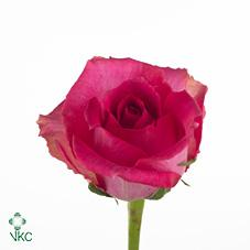 shocking versilia rose