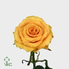 sphinx gold rose