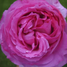 buy yves piaget roses - wholesale flowers